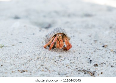 Hermit crab in a shell on a white sand beach on Upolu Island, Western Samoa, South Pacific