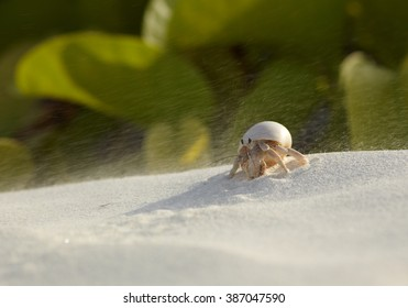 Hermit crab walking against strong wind with grains of sand on the beach of Zanzibar Island.
