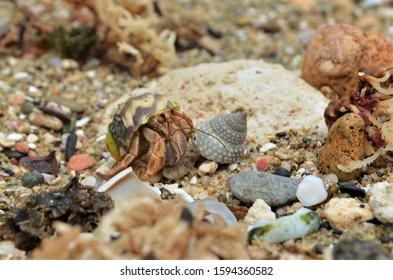 Hermit Crab walking along shells