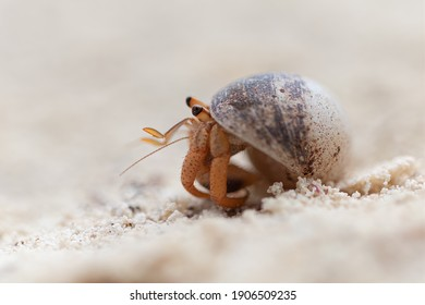 Hermit crab walking in the sand macro photography