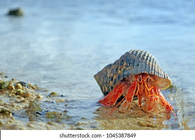 Hermit crab walks on sandy beach in Rarotonga, Cook Islands. Copy space