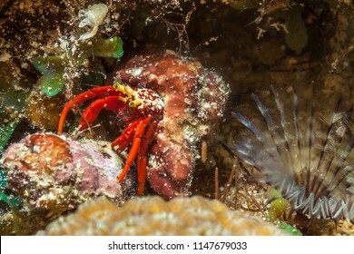 Hermit crabs are decapod crustaceans of the superfamily Paguroidea