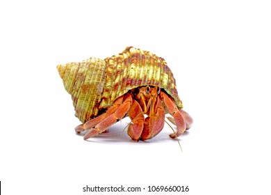 Hermit crabs isolated on white background with selective focus. Hermit crabs are decapod crustaceans of the superfamily Paguroidea.