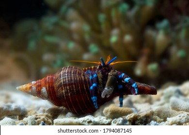 hermit crabs out of their shells, hermit crabs closeup