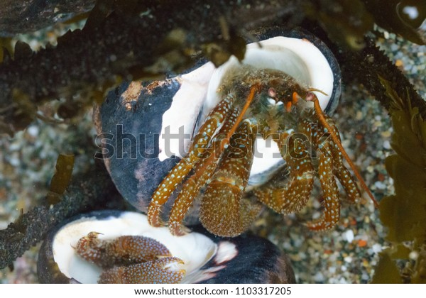 Hermit Crabs in shell