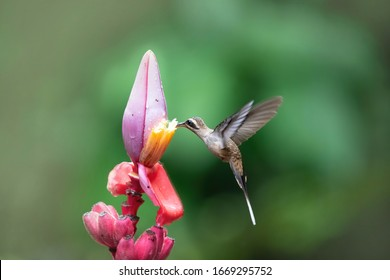 Hermit hummingbird with pink flower