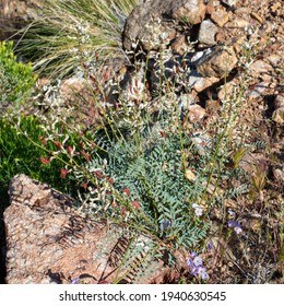 Hermit Milkvetch (Astragalus eremiticus) is a rare locoweed. This perennial forb is a species in one of the most diverse genera in the country.