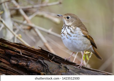 A Hermit Thrush pauses on a decaying log as it forages for a meal at Colonel Samuel Smith Park in Toronto, Ontario.