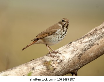 Hermit thrush perched on a log
