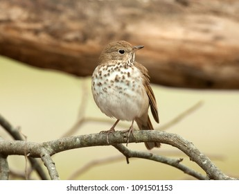 Hermit thrush perched on a tree branch