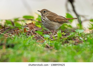 Hermit Thrush standing on the ground keeping a wary eye out for danger. Colonel Samuel Smith Park, Toronto, Ontario, Canada.