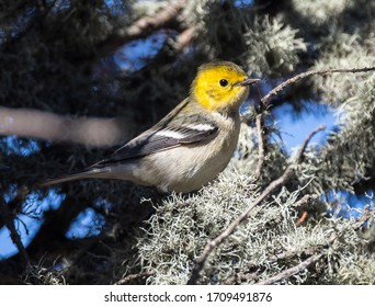 The hermit warbler is a small perching bird. It is a species of New World warbler. Mature hermit warblers normally grow to be 4 ¹⁄₂ to 5 inches long. Hermit warblers are dark gray in coloration on top