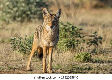 Hermosillo, Sonora - JANUARY 14 2020: A wild coyote stares at the camera.