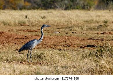 Heron Bird walking in the field