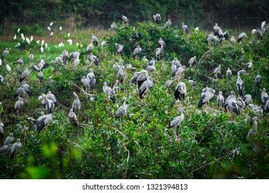 Heron Bird Watching, wildlife of great egrets in the nature