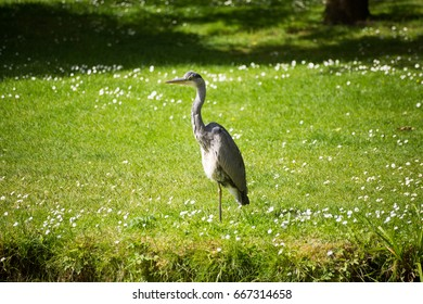 A heron in the Botanic Gardens in Dublin, Ireland