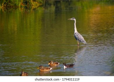 Heron and Ducks on Lake