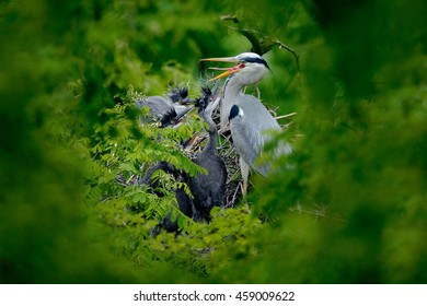 Heron family in the nest. Feeding scene during nesting time. Food in the nest with young herons. Action scene from Germany. Wildlife in the nature.