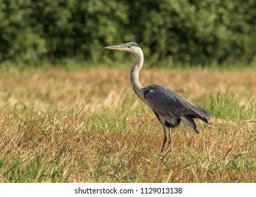 Heron in the field
