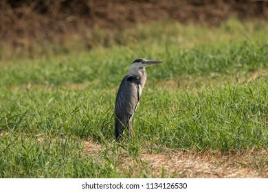 Heron  in the field - Fabulous Outdoors