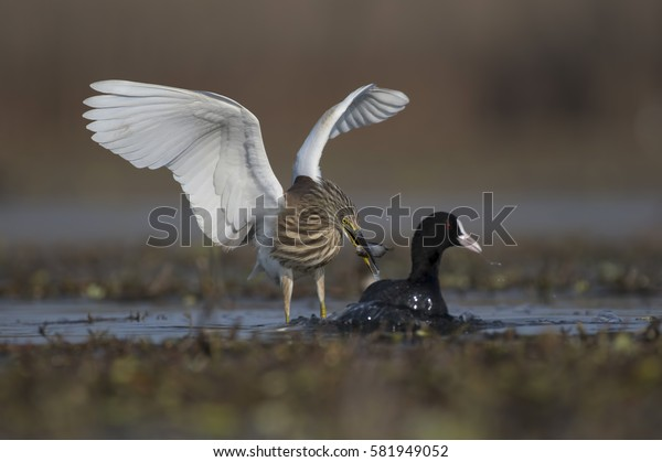 Heron fighting with coot for fish