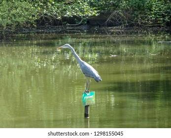 Heron Fishing in a No Fishing pond