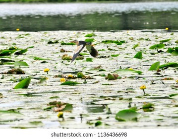 The heron flies over the river surface is covered with lilies ( Nuphar plant). The little bittern or common little bittern (Ixobrychus minutus) is a wading bird in the heron family.