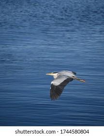 Heron in flight over water