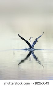 Heron flying. Nature background. Grey Heron / Ardea cinerea
