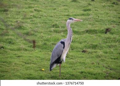 Heron in the grass along a ditch hunting for food in Nieuwerkerk aan den IJssel