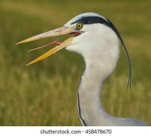 Heron gular fluttering