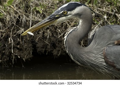 Heron has just caught this small fish on the shore line. This is a close up of the neck and the beak.