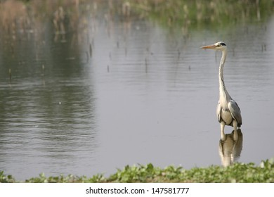 heron hunting in the marsh