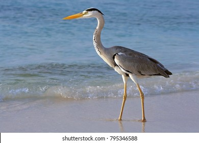 A heron hunting in the sea. Grey heron on the hunt