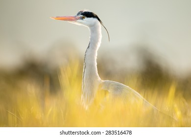 Heron in morning light