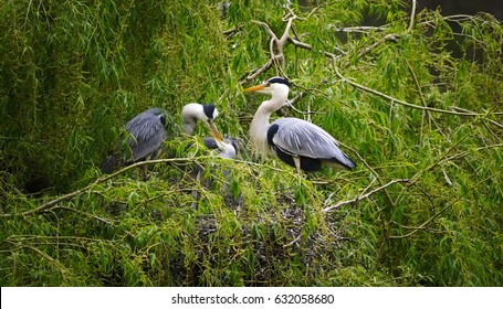 Heron at nest with young in willow tree
