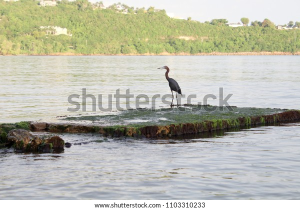 Heron on a algae covered stone in the ocean in Montego Bay Jamaica