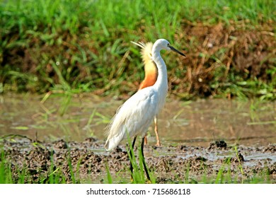 Heron on field in Thailand