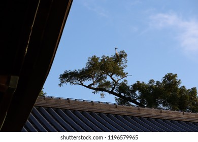 A Heron perched on the top of a pine tree