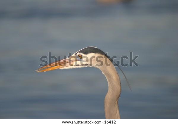 Heron Profile/Headshot