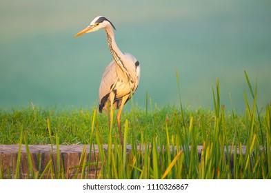 Heron in the reeds of Dutch Polder