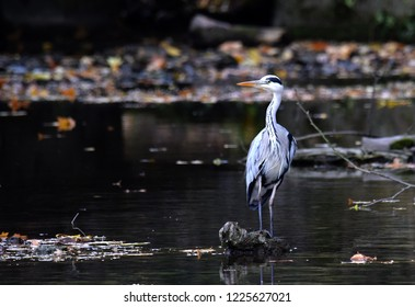 Heron in river