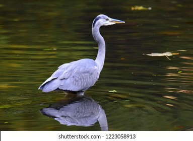 Heron in river looking for fish