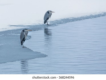 Heron standing on ice edge.