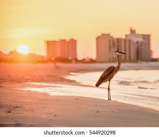 Heron at sunrise in Orange Beach, Alabama