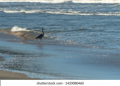 Heron Wades in Shallow Waters of Pacific Ocean on Sunny Morning