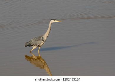Heron wading in Hertfordshire, England