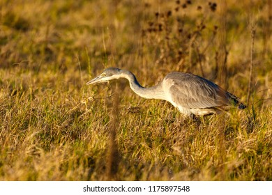 Heron wandering along in the field for food