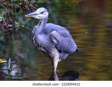 Heron water Bird