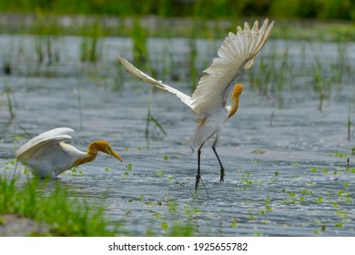 Herons are looking for food in the fields. close up photo of white storks, white storks in nature
